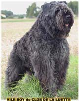 Bouvier des flandres photo -Elevage du Clos de la Luette - COPYRIGHT DEPOSE